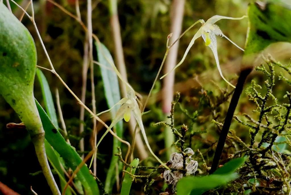 The Orchids of the Cloudforest in East Ecuador