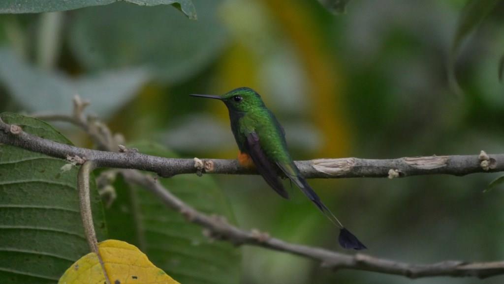 Check the Baeza eBird Field Checklist in Ecuador Cloudforest