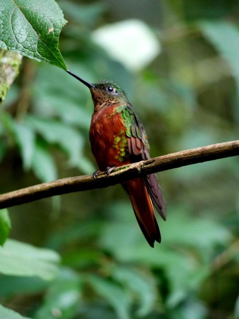 Baeza eBird Field Checklist in Ecuador